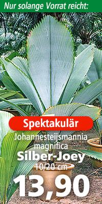 Johannesteijsmannia magnifica