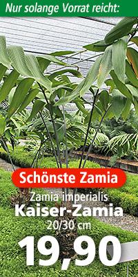 Zamia imperialis