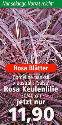 Cordyline banksii x australis 'Renegade'