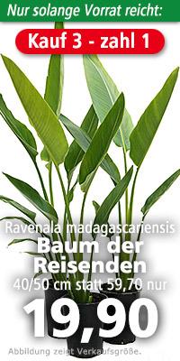 Ravenala madagascariensis