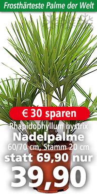 palmen yucca baumfarne palmfarne palme per paket. Black Bedroom Furniture Sets. Home Design Ideas
