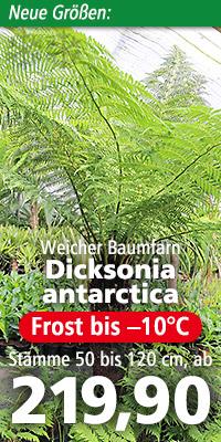 Dicksonia antarctica