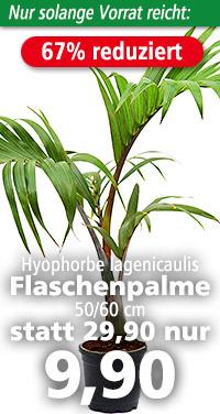 Hyophorbe lagenicaulis