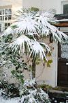 Hanfpalme ohne Winterschutz